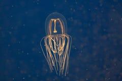студень рыб Стоковое фото RF