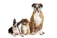 Студия снятая прелестной собаки 3 Стоковые Фотографии RF