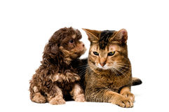 студия lapdog кота Стоковое Фото