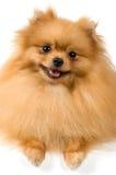 студия spitz собаки Стоковое Изображение RF