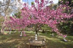 Стул под красивыми вишневыми цветами стоковое изображение rf