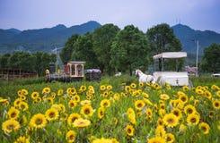Студии свадьбы в полях солнцецвета Стоковое Изображение