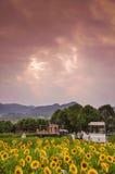 Студии свадьбы в полях солнцецвета Стоковые Изображения