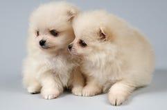 студия 2 spitz щенят собаки Стоковые Изображения