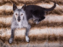 Студи-портрет старой собаки стоковые фото