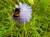 Стыдливый путайте пчела стоковые изображения rf
