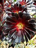 Субтропический сад: Заводы arboreum Aeonium Стоковое фото RF