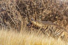 Суданская Striped гиена закамуфлированная среди золотых трав в раннем утре стоковое изображение rf