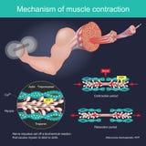 Сужение мышцы в результате импульсов нерва установило с биохимической реакции которая причиняет миозин вставить к актину людск бесплатная иллюстрация