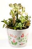 суккулентная ваза Стоковые Фотографии RF