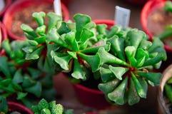 Суккулентные заводы при сочные яркие ые-зелен листья изумляя форму загорены восходящим солнцем лучей Стоковое Изображение RF