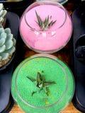 Суккулентные зеленая и розовый Стоковое фото RF