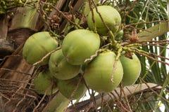 Суккулентные зеленые кокосы стоковые изображения