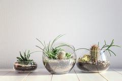 Суккулентные сады в стеклянных вазах Стоковое Фото