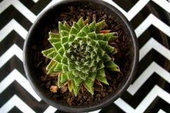 Суккулентное горшечное растение Стоковое Изображение