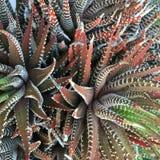 Суккулентный кактус Стоковая Фотография