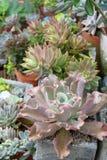 Суккулентный сад Стоковая Фотография
