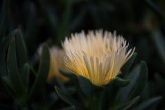 Суккулентный цветок в цветени стоковые изображения rf