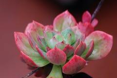 Суккулентный цветок кактусов Стоковая Фотография RF