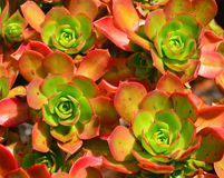 Суккулентный - Aeonium Percarneum Стоковые Фото