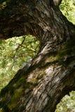 Сук старого дерева вербы Стоковое Изображение