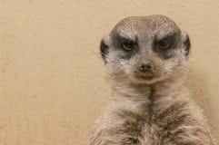 Сумашедшее Meerkat Стоковое Изображение RF