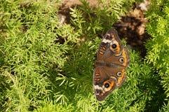 Сумеречница апельсина Брайна засорителя бабочки прогулки Стоковые Фотографии RF