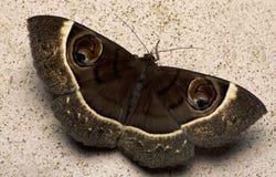 Сумеречница, бабочка на ноче, сумеречница в Таиланде Стоковые Изображения RF