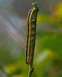 Сумеречница веника, личинка pisi Melanchra стоковые фотографии rf
