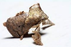 Сумеречница гусеницы куска металла (семья Limacodidae) Стоковое Изображение RF