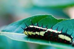 сумеречница гусеницы Стоковые Изображения RF