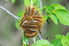 сумеречница гусениц цыганская Стоковое Фото