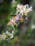 Сумеречница и цветок птицы припевать Стоковые Изображения RF