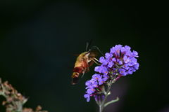 Сумеречница колибри Clearwing на цветке Стоковое Изображение RF