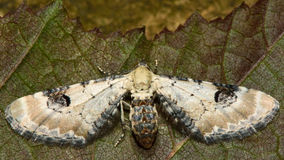 сумеречница мопса Известк-пылинки (centaureata Eupithecia) Стоковое Изображение RF