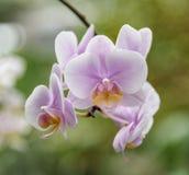 Сумеречница ночи Фаленопсис орхидеи Конец-вверх нежно фиолетовых бутонов Стоковые Фото