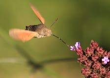 Сумеречница птицы припевать (stellatarum Macroglossum) Стоковое фото RF