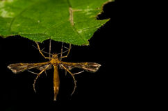 Сумеречница сливы & x28; Семья Pterophoridae& x29; Стоковое фото RF