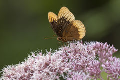 сумеречница цветка Стоковые Изображения
