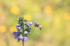 Сумеречница ястреба колибри стоковые изображения