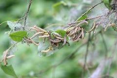 Сумеречница codling гусениц Стоковые Изображения RF