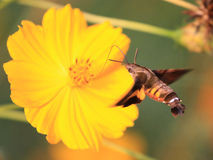 Сумеречница Hummingbird Стоковое Изображение