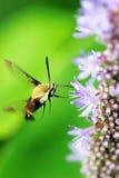 сумеречница hummingbird Стоковые Изображения RF