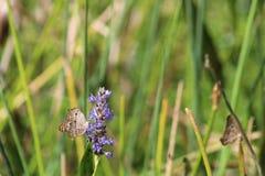 Сумеречница jatrophae Anartia в болоте стоковые фотографии rf