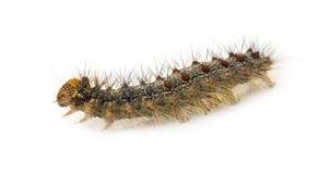 сумеречница lymantria гусеницы dispar цыганская стоковое изображение