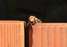 Сумеречница Owlet Стоковая Фотография RF