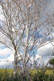 Сумеречницы ermine вишни виноградин Стоковое Изображение
