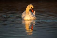 Сумерк на озере лебед Стоковые Изображения RF