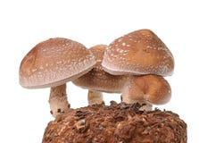 Сумка гриба на белой предпосылке Стоковая Фотография RF