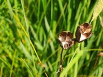 Сумка семени Стоковое Изображение
